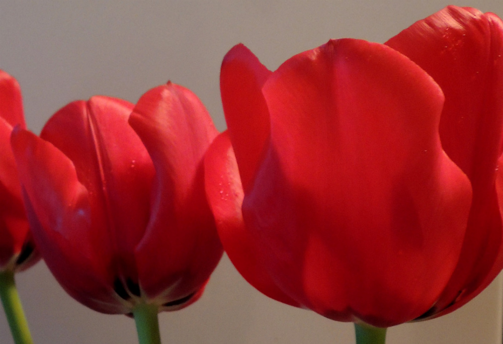 wordless_systematicwonder_redtulips